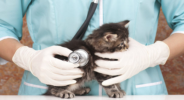 Veterinarian Checking a Cat
